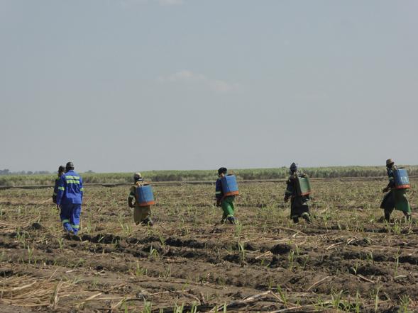 Arbeiter auf einer Rohrzuckerplantage in Sambia